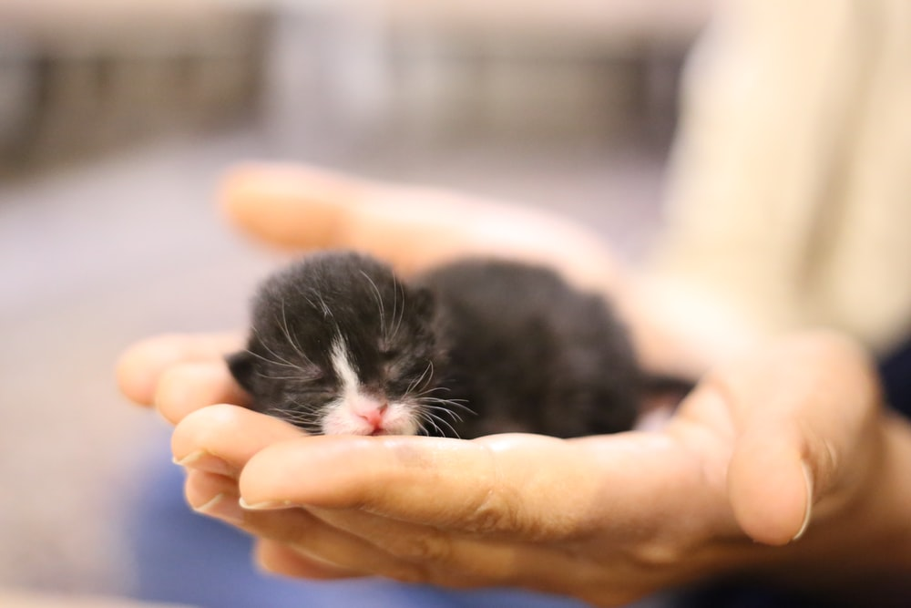 black and white short fur kitten on persons hand