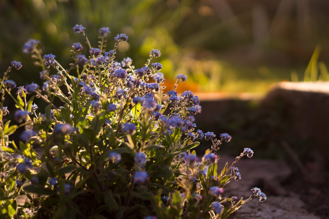 forget-me-nots during golden hour