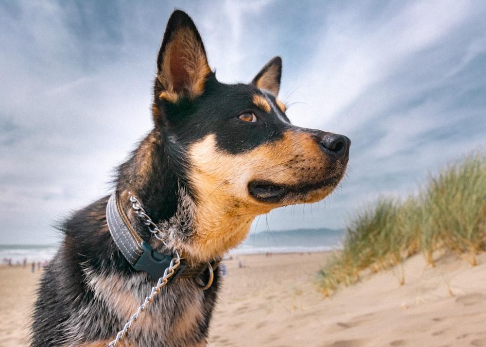 black and tan short coat dog on white sand during daytime