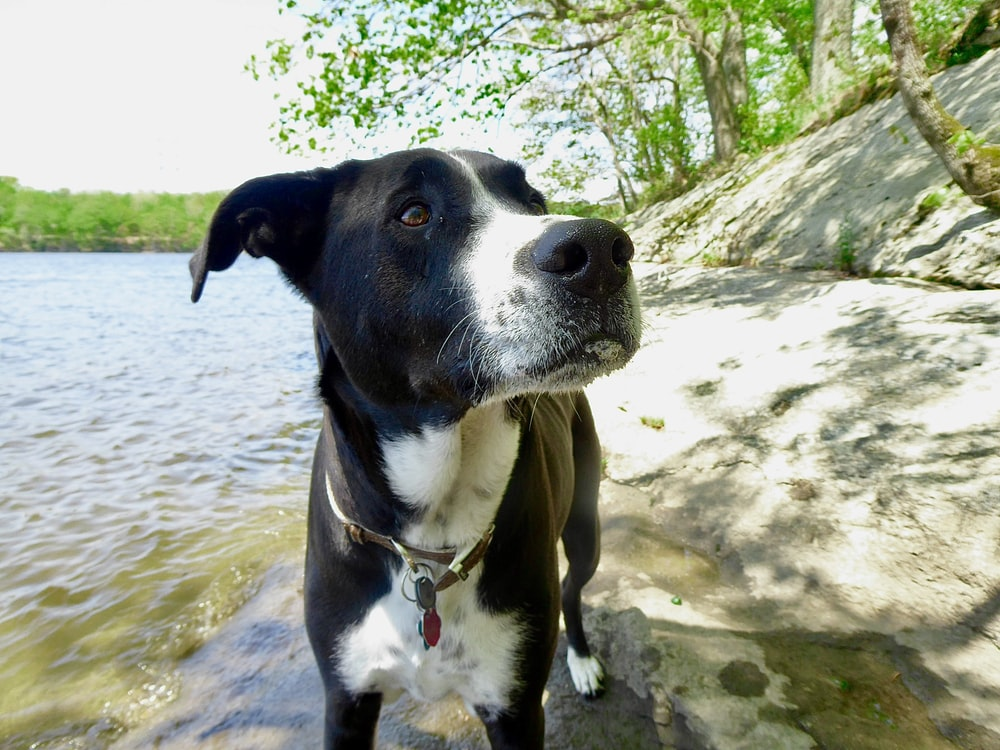 black and white short coated dog on river during daytime