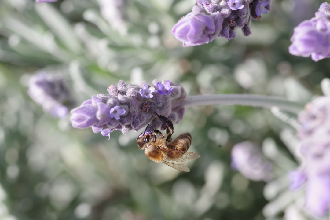 Bee on mauve lavender flower