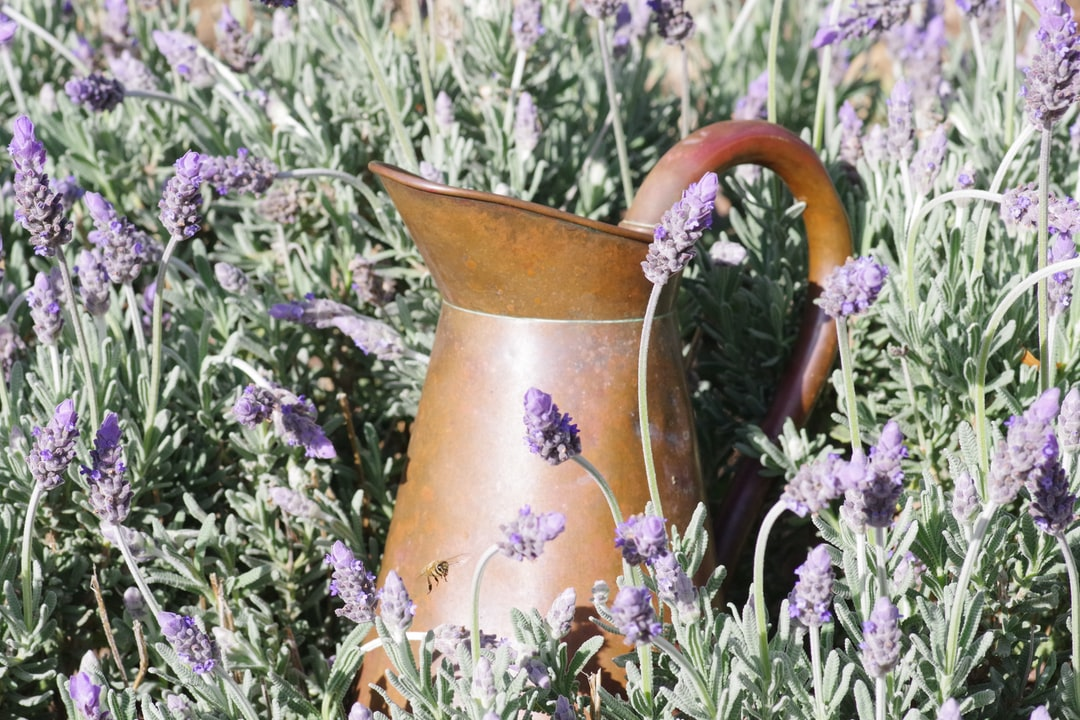 Copper jug in lavender with bee in flight