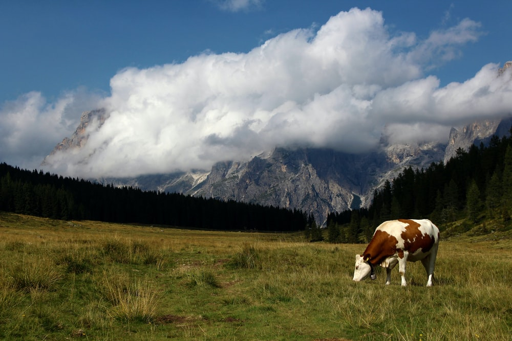 brown and white cow on green grass field near mountain under white clouds during daytime
