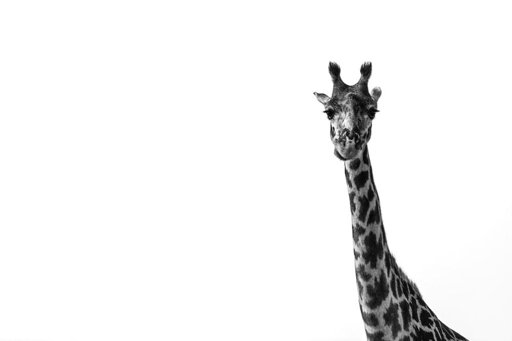 black and white giraffe illustration