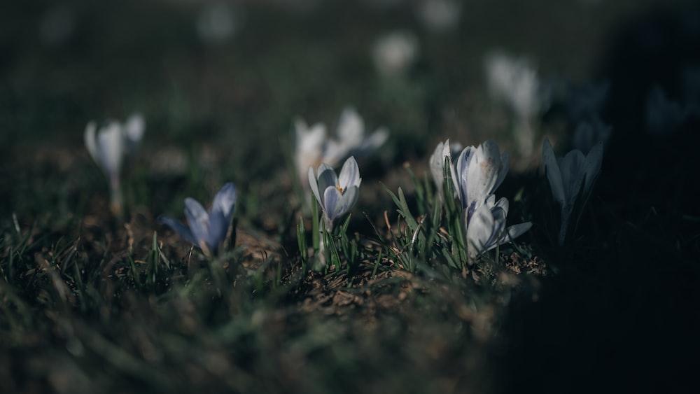 white crocus flowers in bloom during daytime