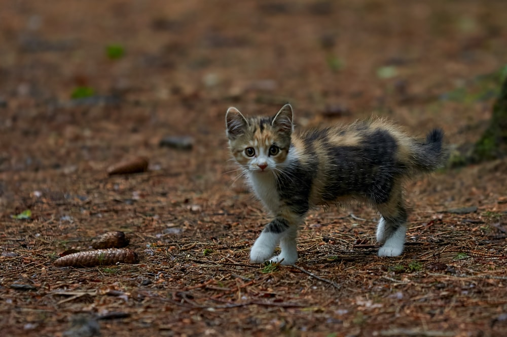 white black and brown cat on brown ground