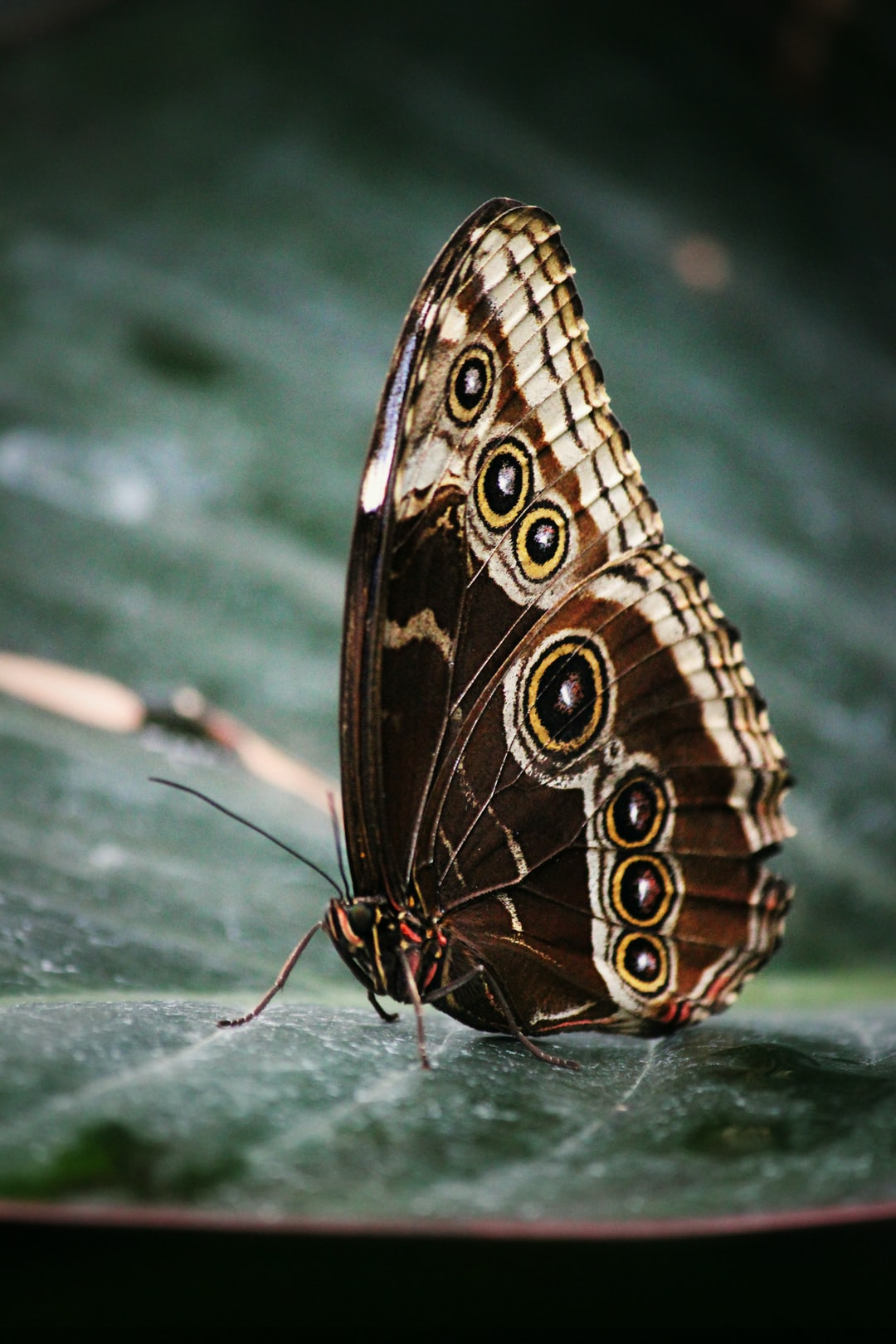 A morpho butterfly sits on a leaf.