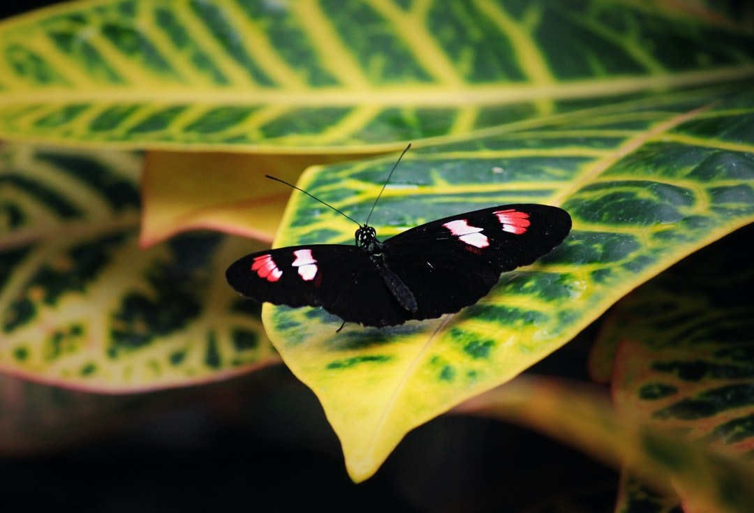A Red Admiral butterfly spreads its wings on a leaf.