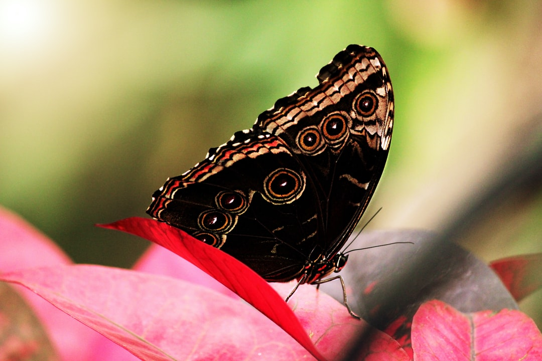 A Morpho butterfly sits on red leaves.