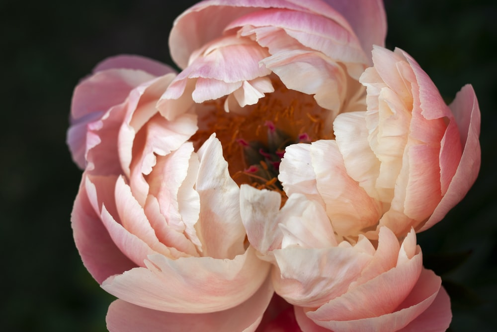 pink and white flower in macro photography
