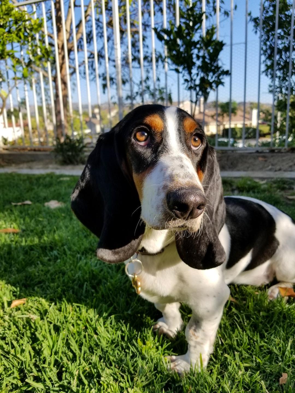 Basset Hound puppy on the grass.