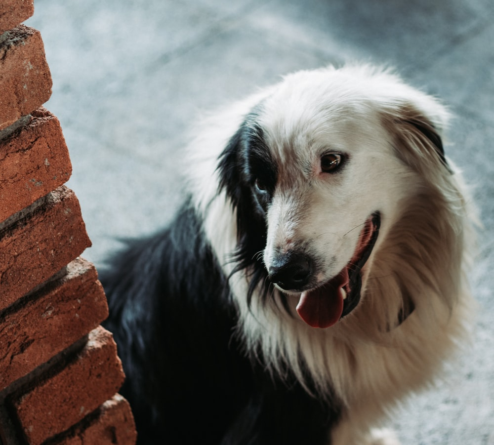 white and black long coated dog on brown brick