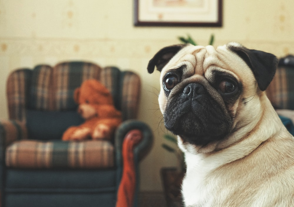 fawn pug sitting on red and brown sofa