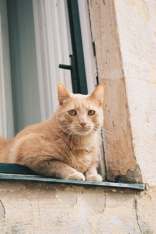 orange tabby cat on window