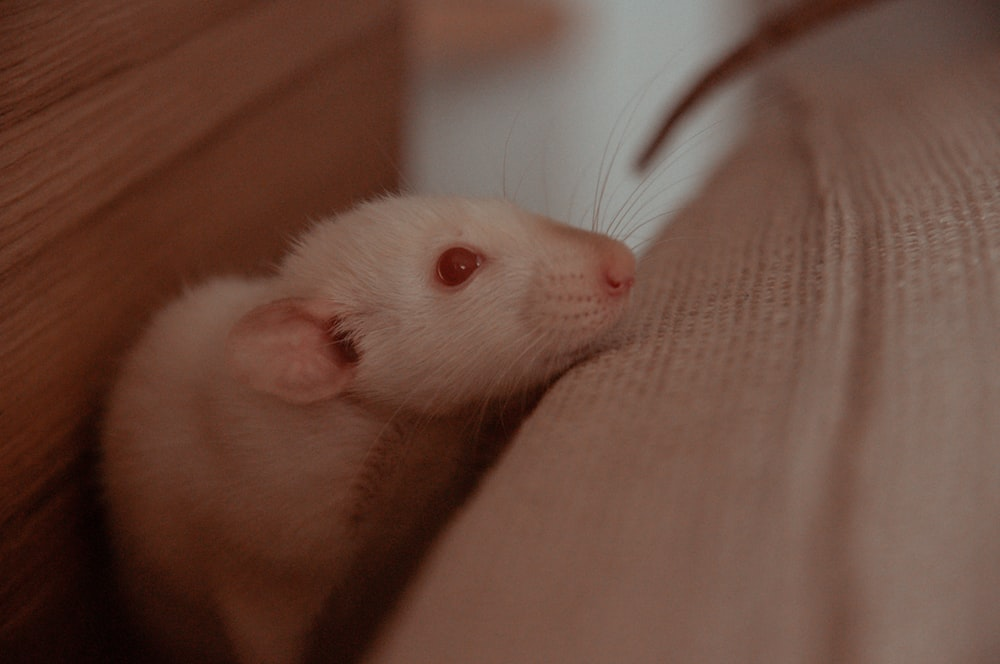 white rodent on persons hand