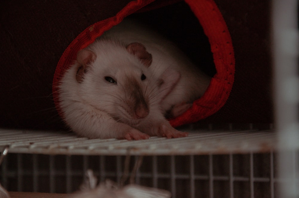 white mouse in white and red pet bed