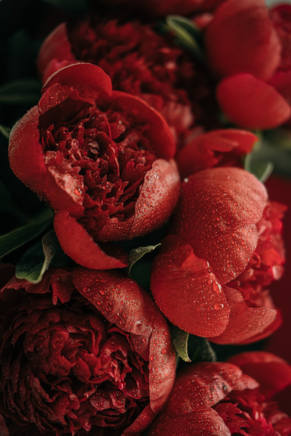 red roses in close up photography