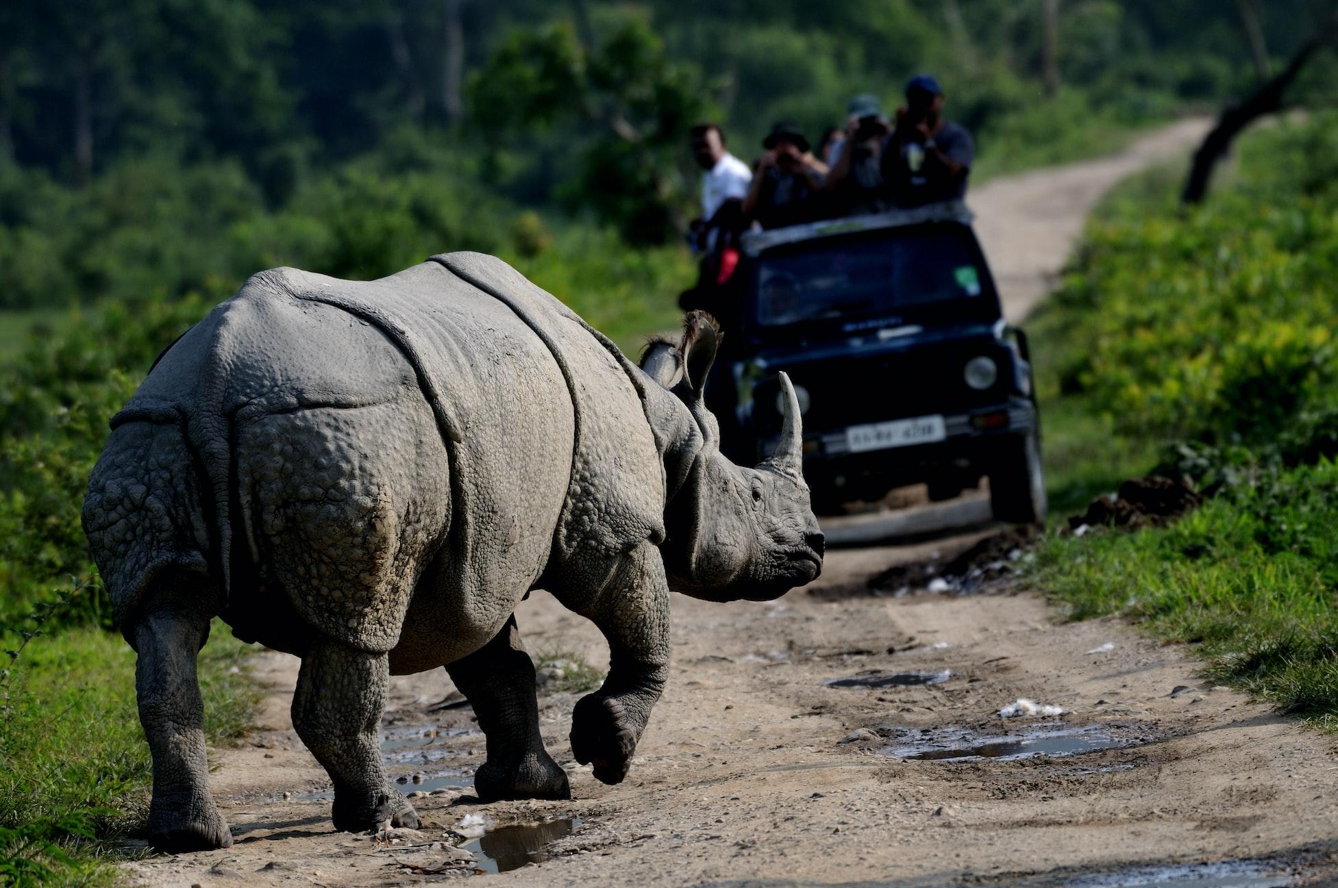 A rhino in the Kaziranga National park