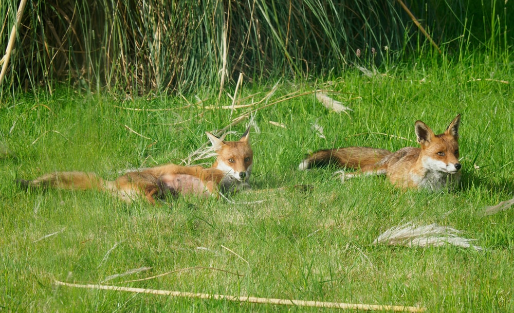 brown fox lying on green grass during daytime