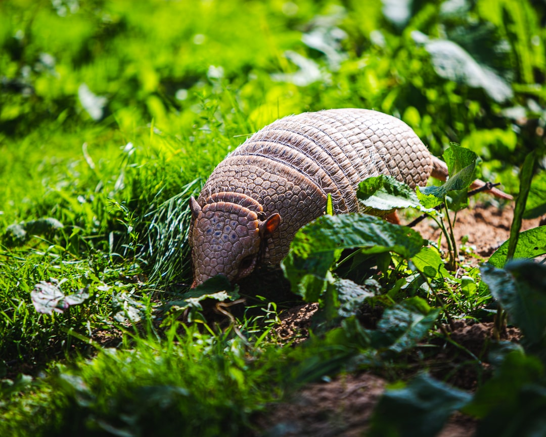Armadillo on the prowl
