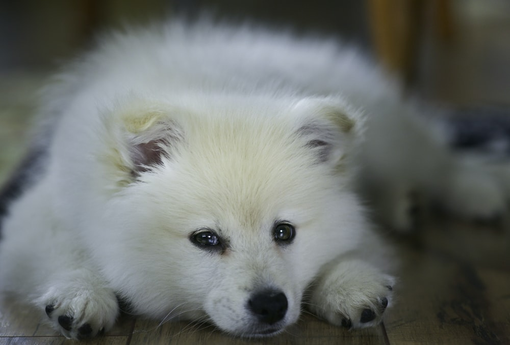 white long coated small dog