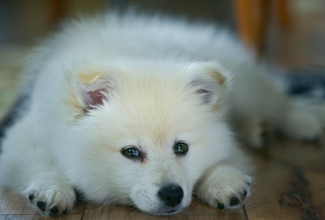 American Eskimo puppy dog with soft fur and floppy ears. Close up.