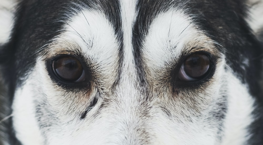 Wolf Eye Pictures Download Free Images On Unsplash