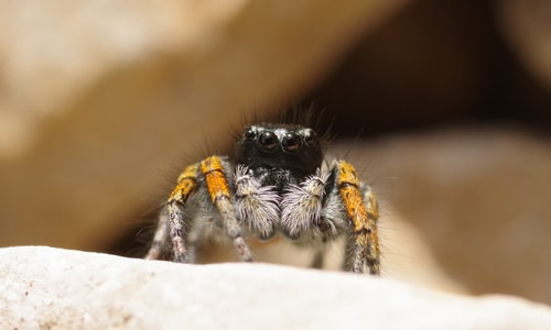 trapdoor spider facts