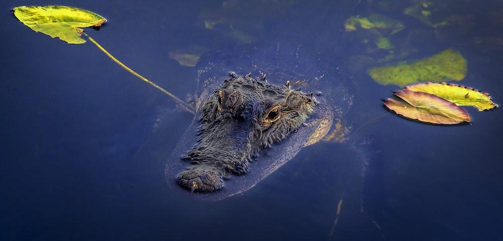 black crocodile on water during daytime