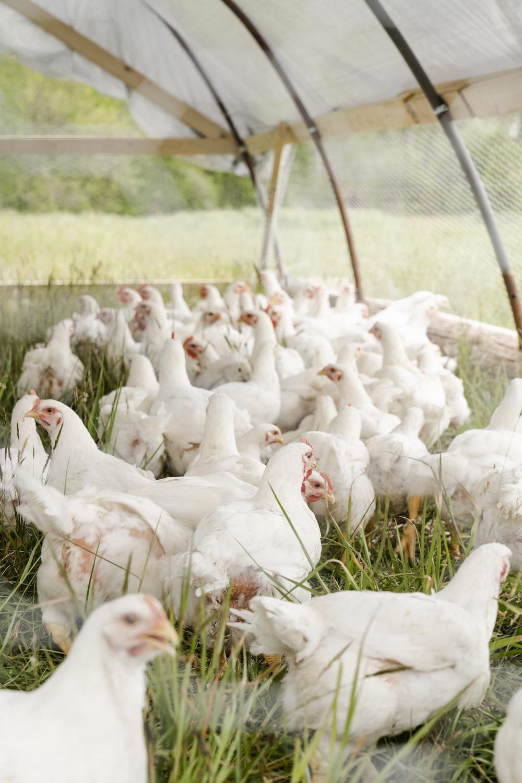 white chicken on green grass field during daytime
