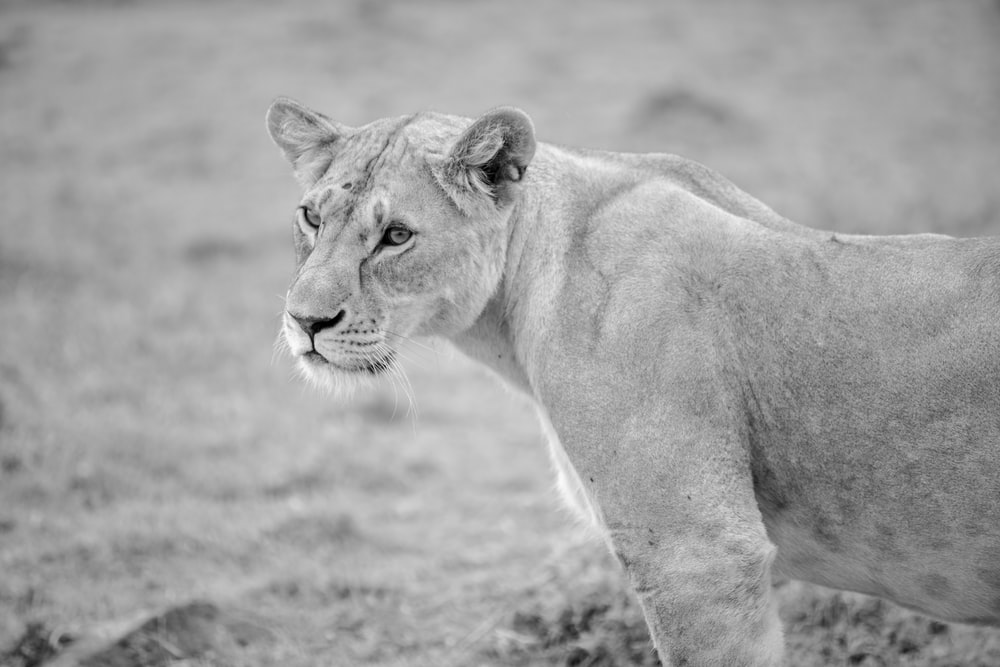 grayscale photo of lioness on grass field