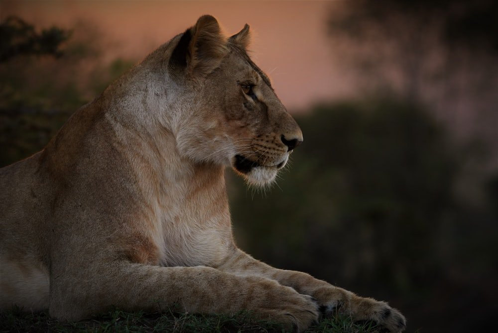 brown lioness lying on ground during daytime