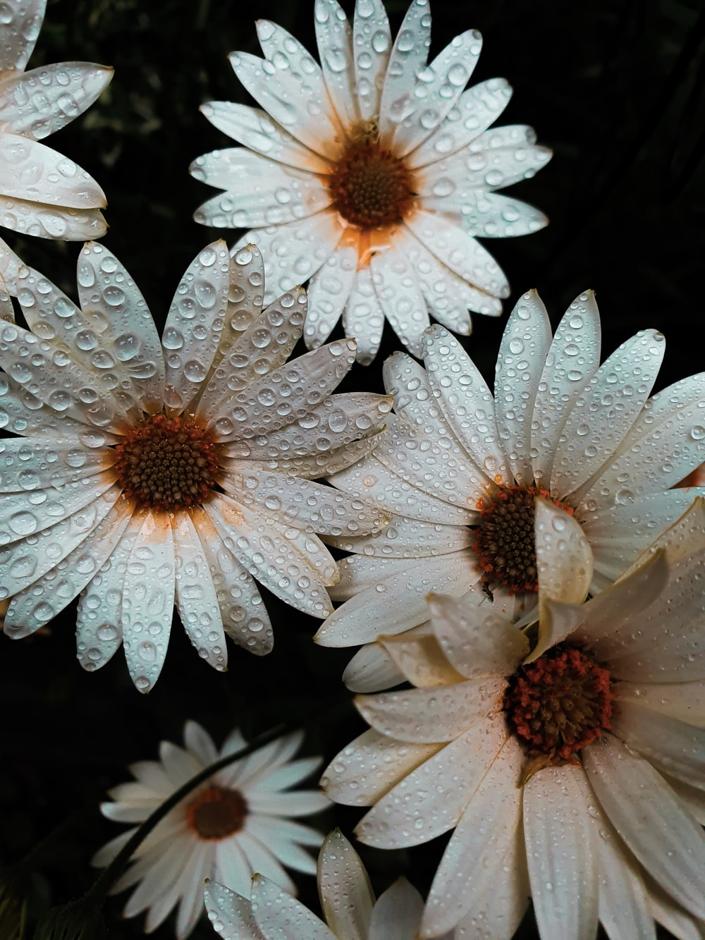 white daisy with water droplets