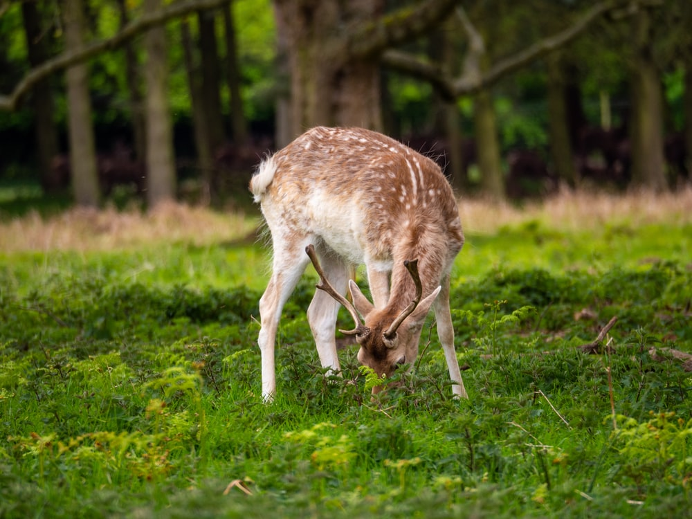white and brown deer on green grass during daytime