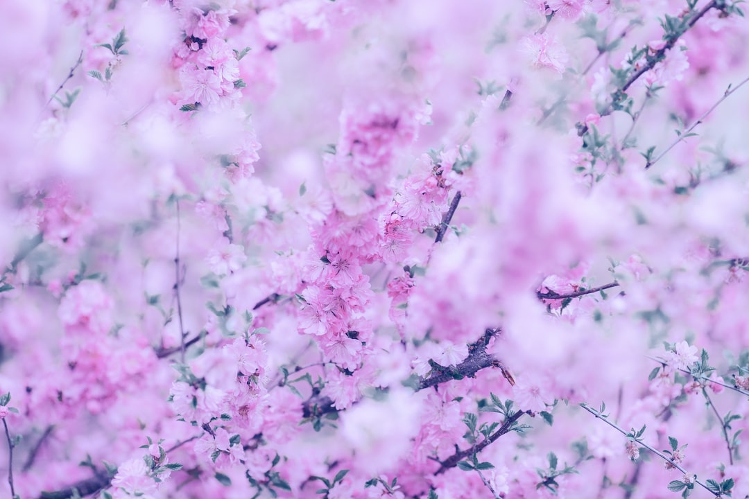 Photo with aesthetic pink flowers of blossoming decorative cherry close-up. Beautiful and aesthetic spring photo from russian cherry orchard.