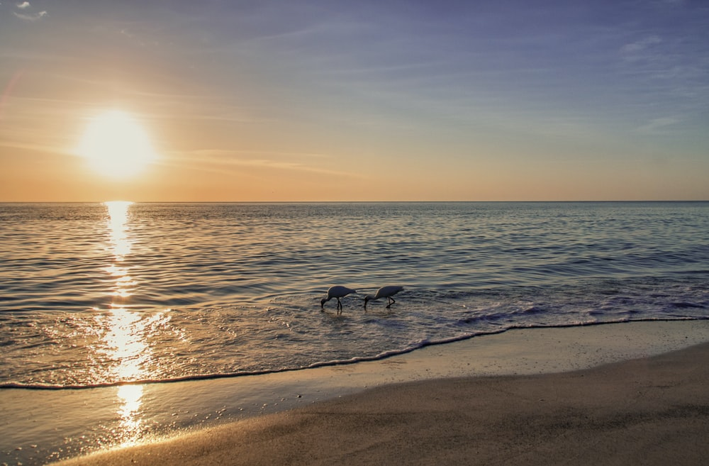 two white and black birds on beach during sunset