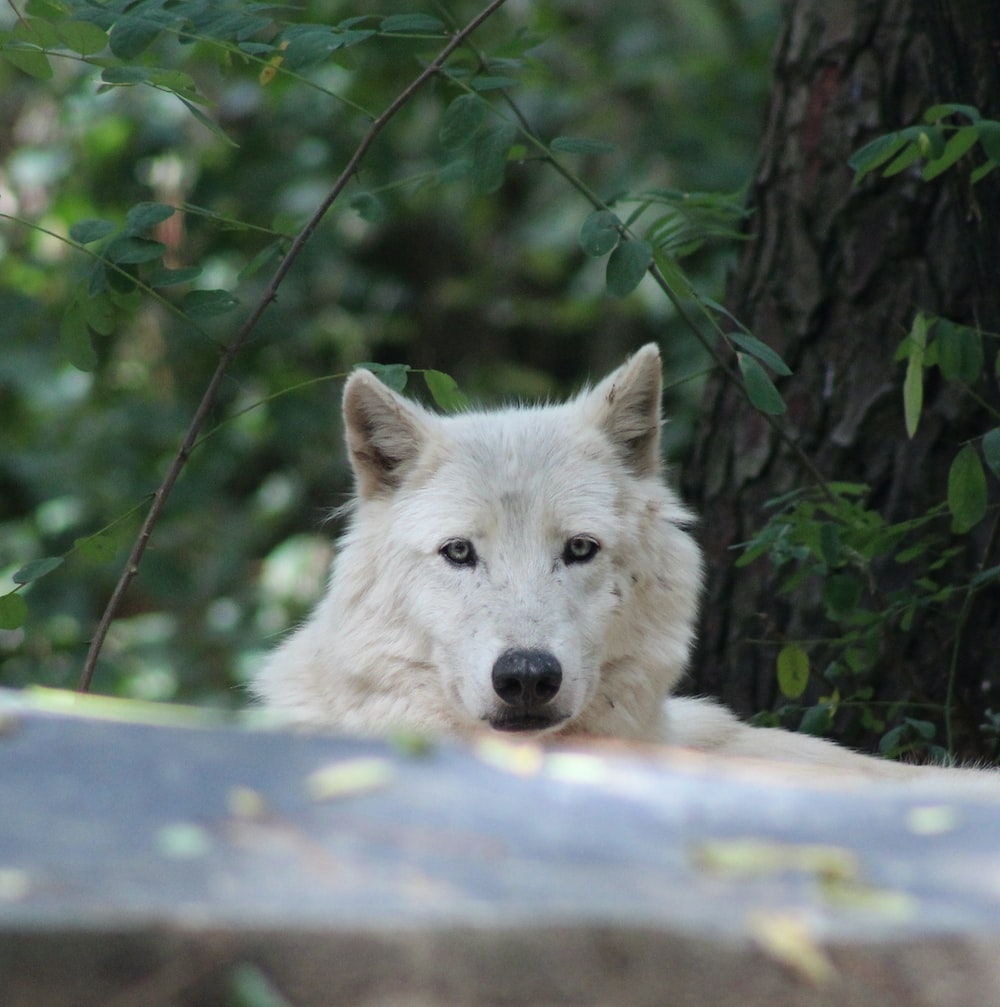white wolf lying on concrete floor during daytime