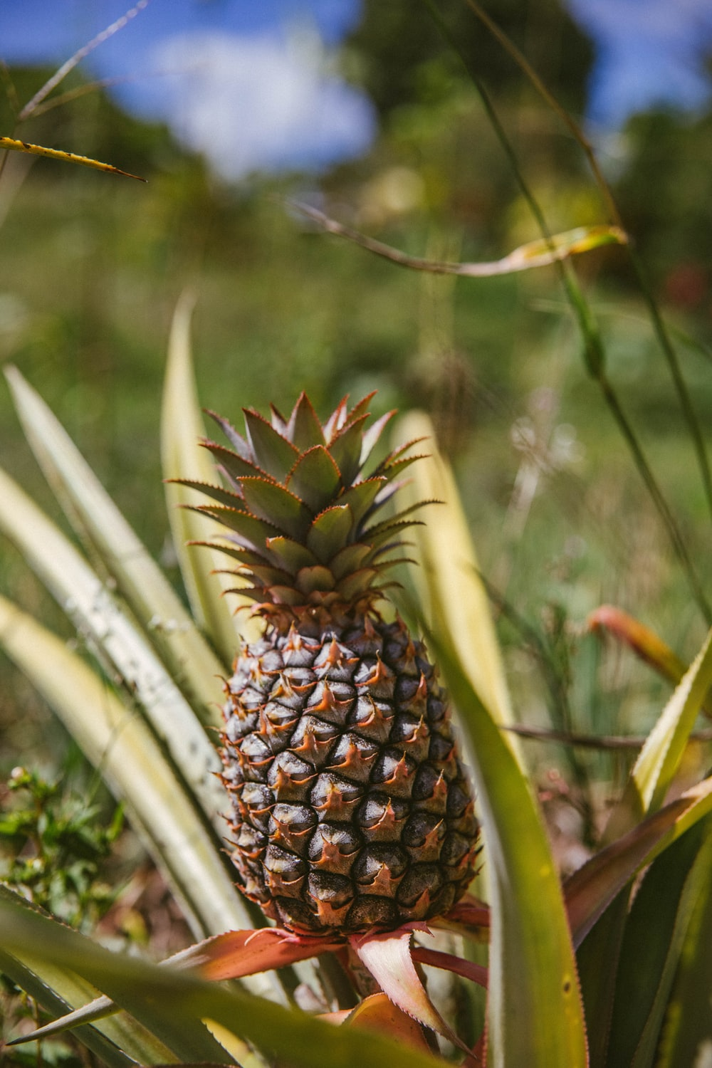 pineapple fruit in tilt shift lens