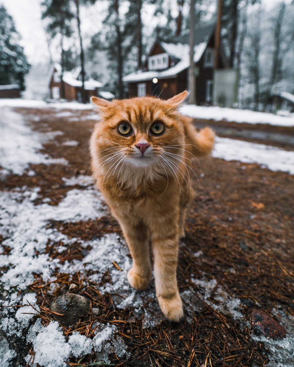 orange tabby cat on ground covered with snow during daytime