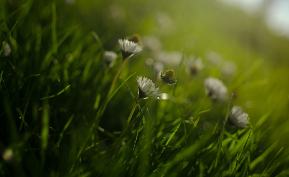 white flower in green grass field
