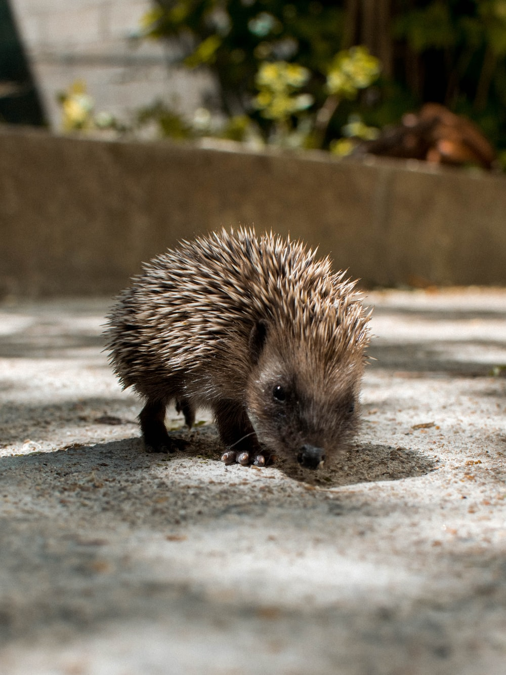 hedgehog on grey concrete floor