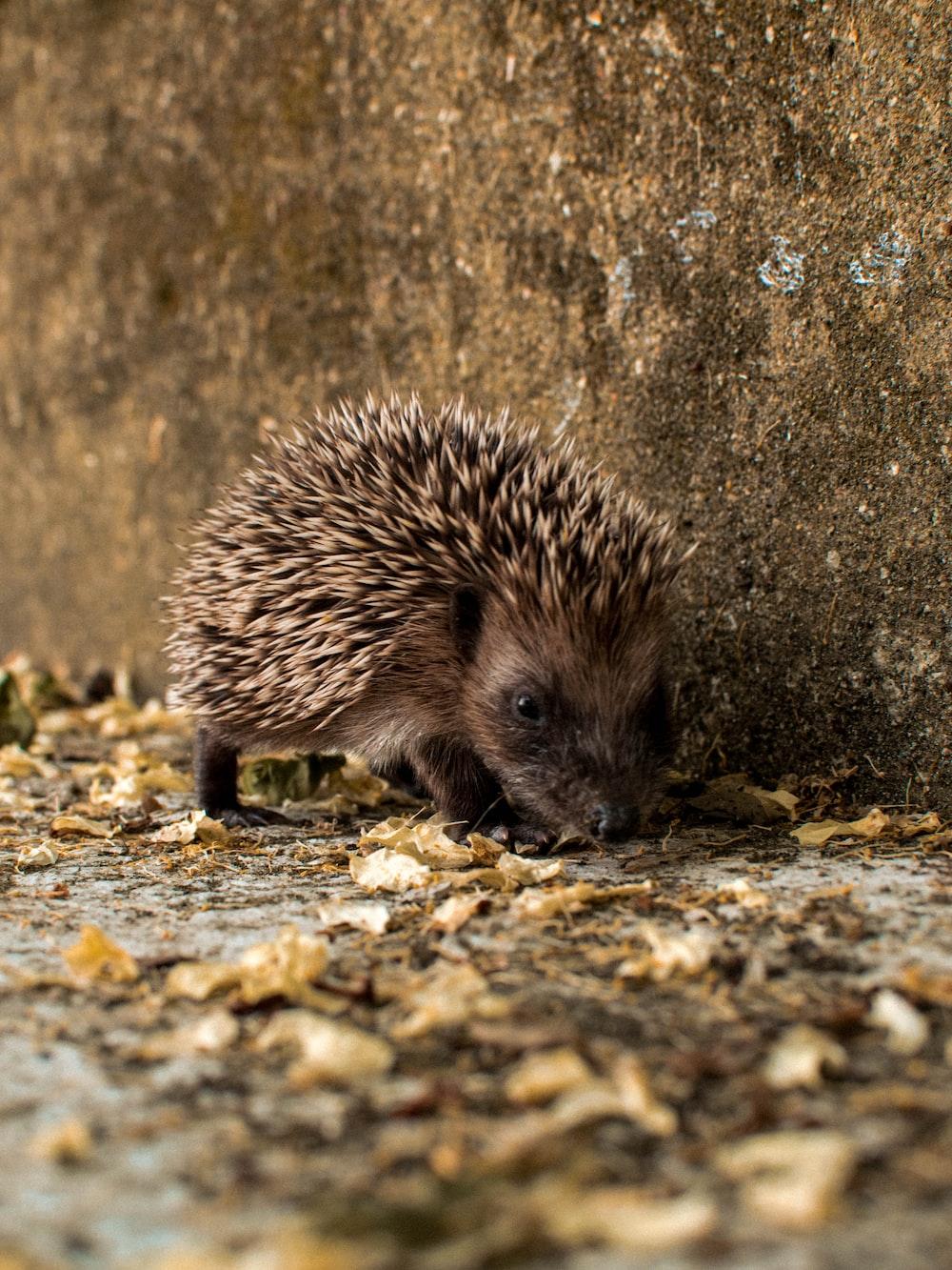 hedgehog on brown rock during daytime