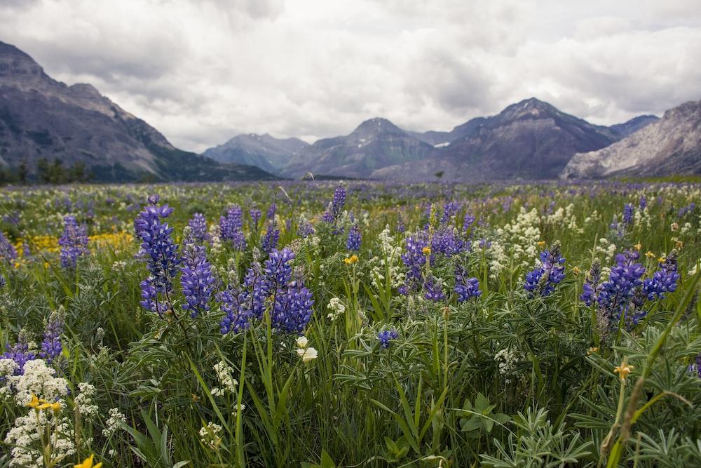 purple flower field near mountain under white clouds during daytime