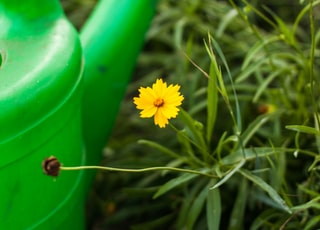 yellow and white flowers in green watering can