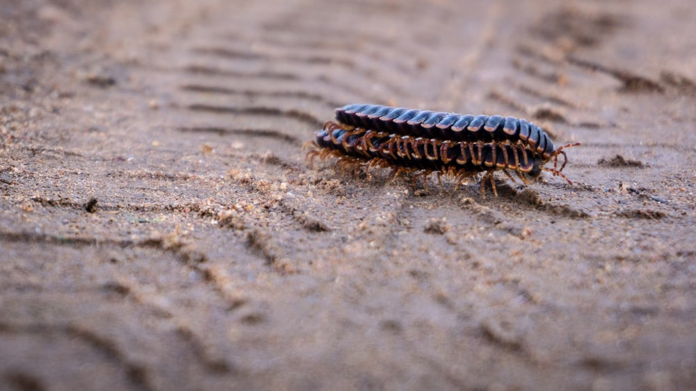 black and brown caterpillar on gray sand