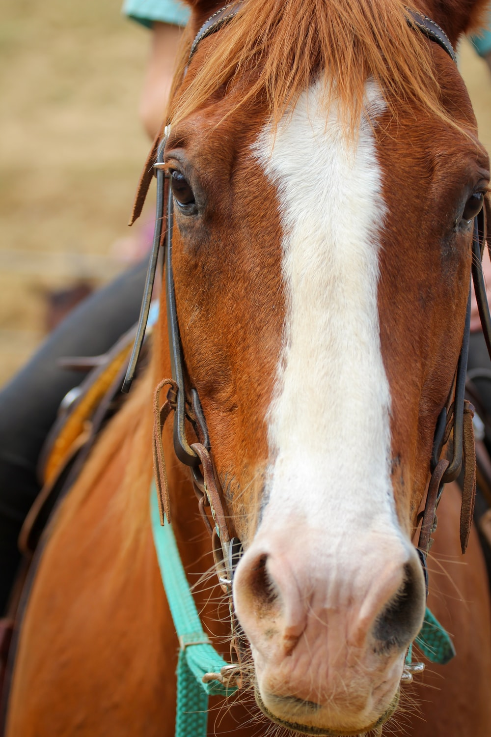 brown and white horse head