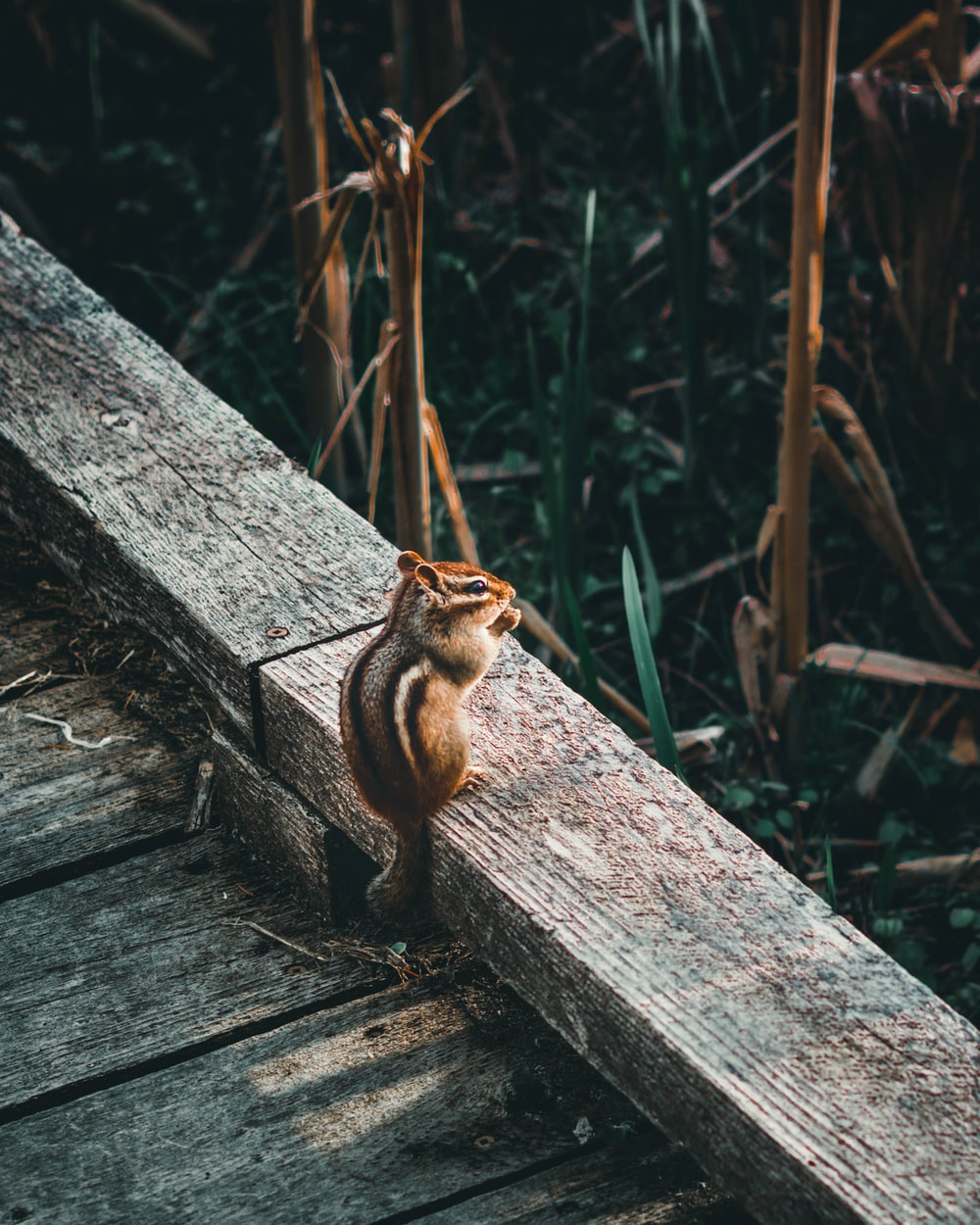 brown squirrel on gray wooden fence