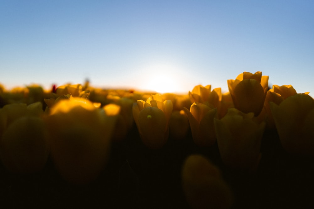 yellow flower buds during sunset