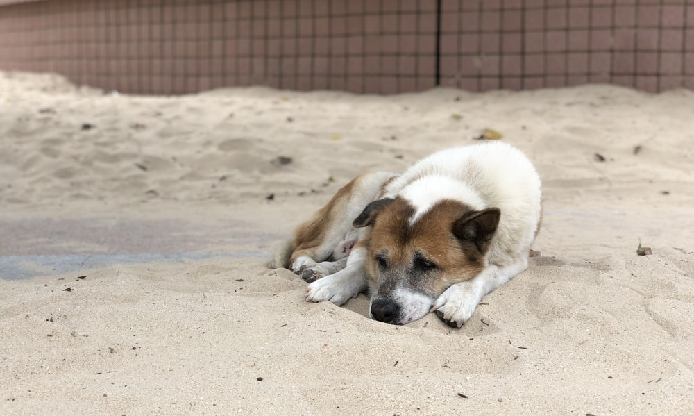 white and brown short coated dog on brown sand during daytime