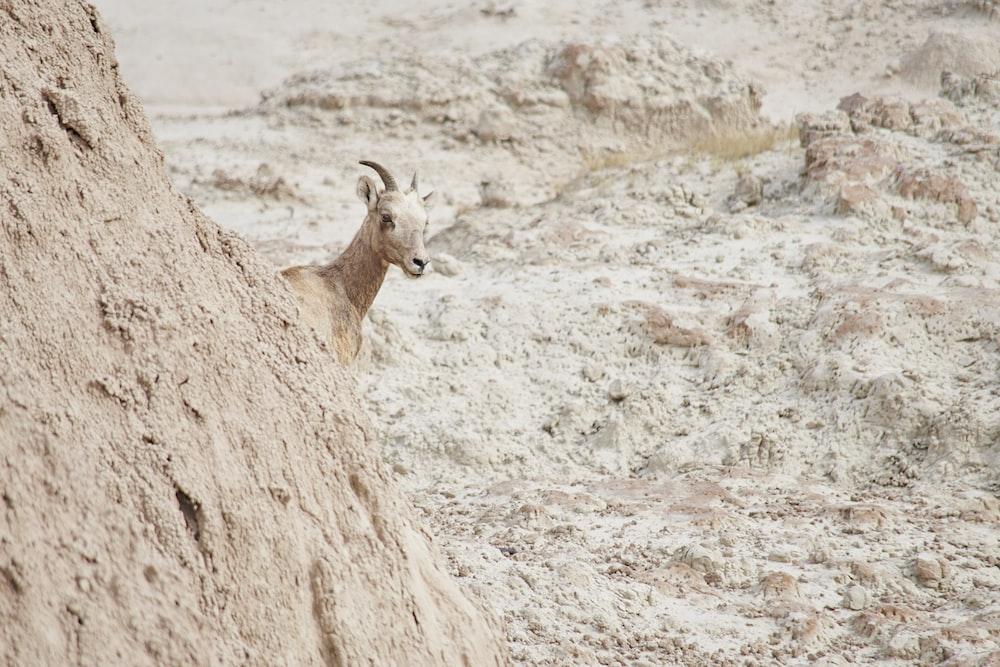 brown deer on brown rock during daytime